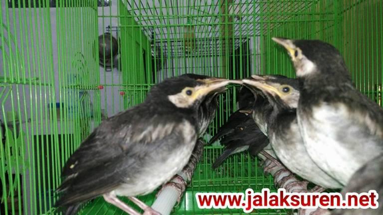 Burung Jalak Suren Anakan Lolohan