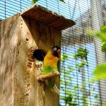 Tertarik Memiliki Burung Lovebird? Berikut Sisi Istimewanya