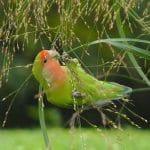 Mengenal Burung Lovebird
