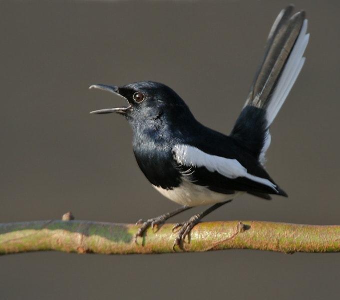 Burung Kacer - pixabay.com