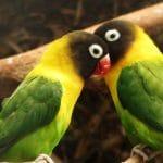 Karakter-Karakter Burung Lovebird Kontes