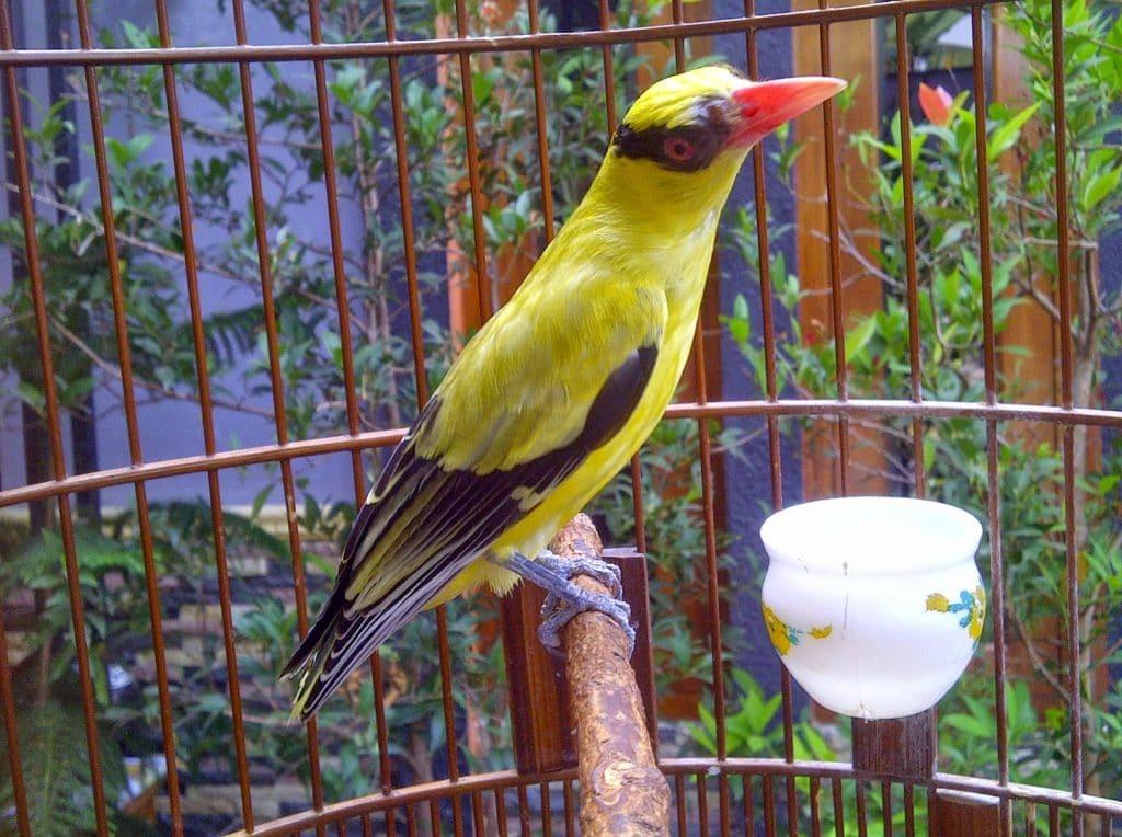 Serba Serbi Maskot Jawa Tengah Burung Kepodang Emas