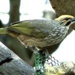 Tips Merawat Burung Cucak Rowo Mabung