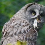 Burung Hantu Yang Menjadi Mitra Petani di Klaten Sampai Dengan Partner Free Fly