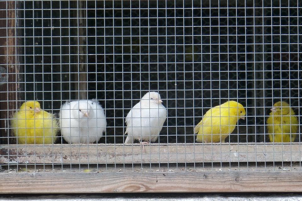 Burung Kenari - pixabay.com