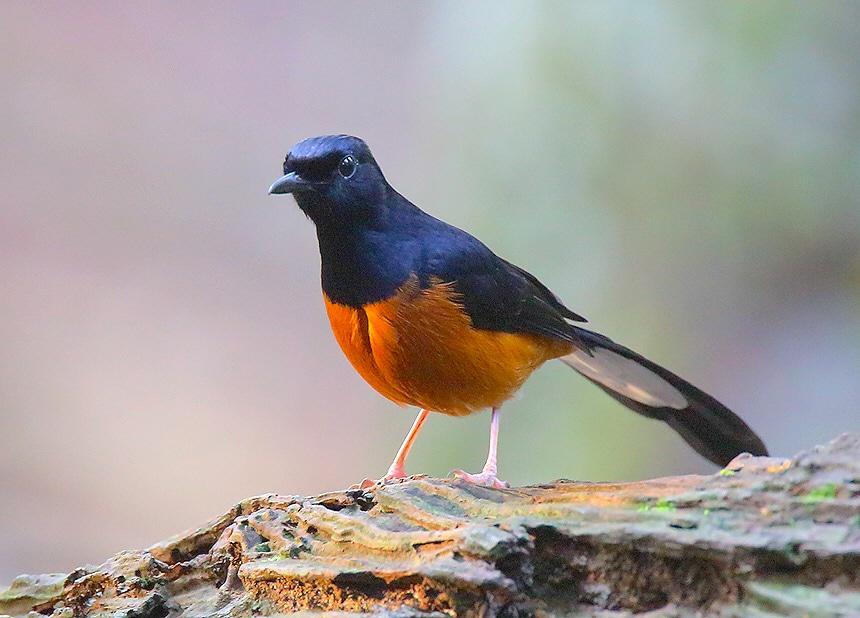 burung | Blog penghobi kicau burung