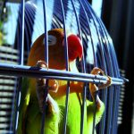 Cara Membedakan Love Bird Jantan dan Betina dengan Mudah