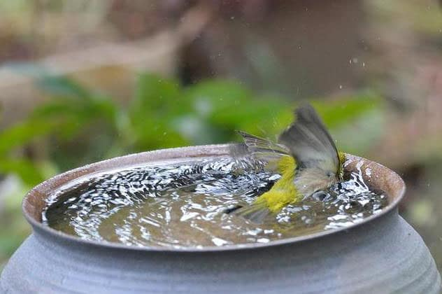 Memandikan burung - tipburung.blogspot.co.id