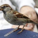 Cara Menjinakkan Burung Gereja Liar