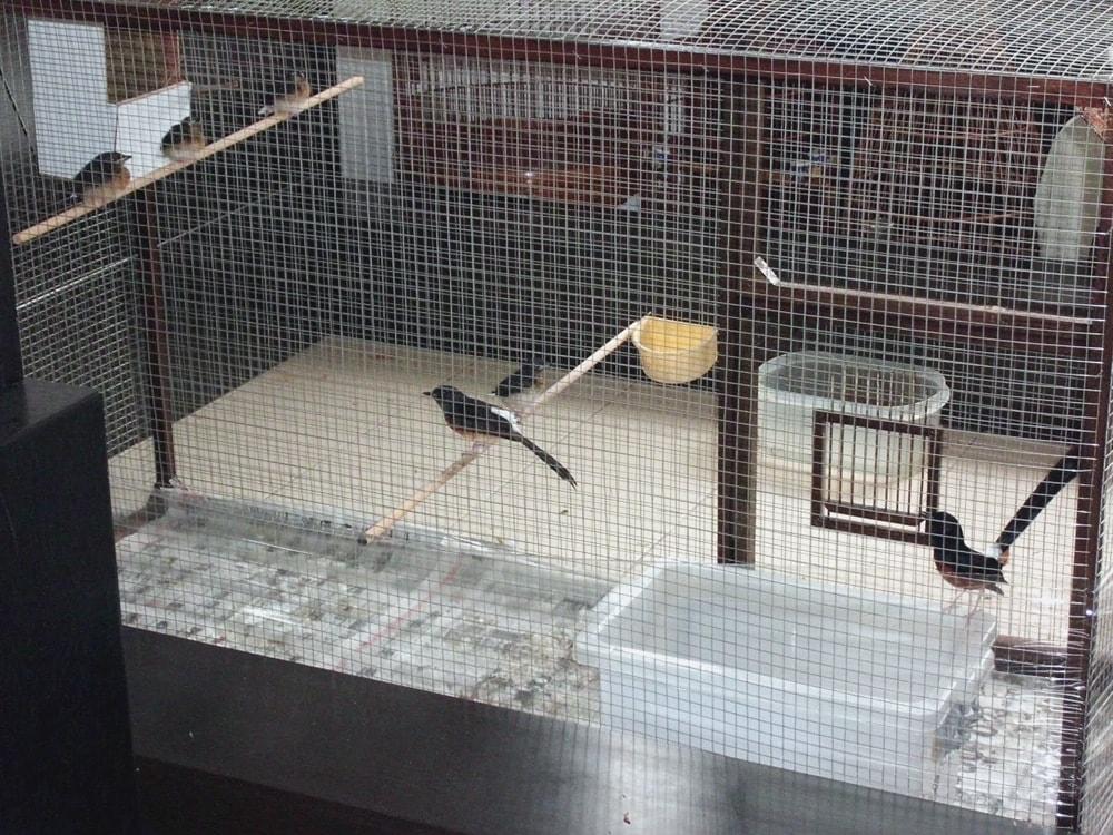 Tangkar burung kacer - omkicau.com