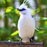 Tips Perawatan Burung Jalak Bali Agar Cepat Gacor
