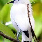 Mengenali Ciri-ciri Burung Jalak Bali
