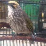 5 Jenis Cucak Rowo yang Wajib Diketahui Para Pencinta Burung