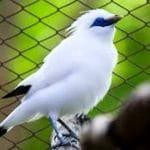 Atoxoplasmosis, Penyakit Pada Burung Jalak Bali yang Perlu Diwaspadai
