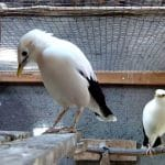 Perbedaan Ciri-ciri Burung Jalak Putih Jantan dan Betina