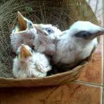 Metode Perawatan Anakan  Burung Jalak Bali