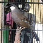 Anda Punya Burung Poksay Hongkong yang Terlalu Liar? Jinakkan dengan Terapi Lapar