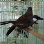 Jual Burung Jalak Hongkong, Poksay Hongkong dan Wambi / Hwamei