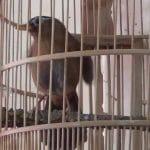 Kelebihan dan kekurangan Burung Hwa Mei