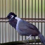Ketahui Penyebab Burung Poksay Hongkong yang Susah Bunyi