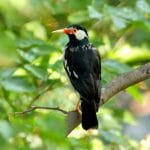 Mengenal Lebih Dekat Jenis Burung Jalak Suren