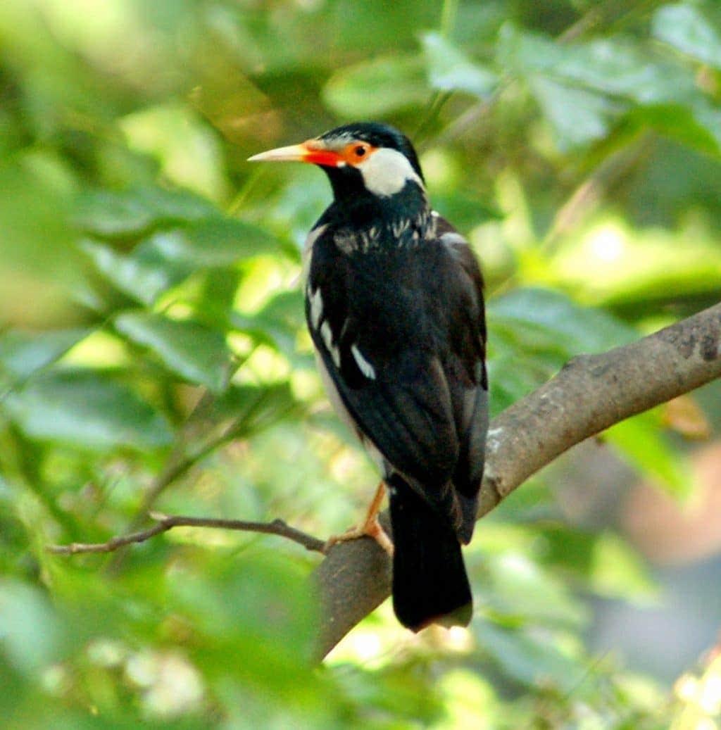Mengenal Lebih Dekat Jenis Burung Jalak Suren 1