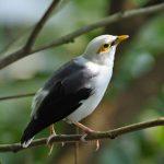 Tips Yang Perlu Diperhatikan Sebelum Membeli Burung Jalak Putih