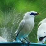 Mengenal Lebih Dalam Burung Jalak Bali Dari Ciri Sampai Cara Perawatan