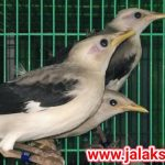 Jual Burung Jalak Putih Hasil Penangkaran dan Bersertifikat Resmi BKSDA