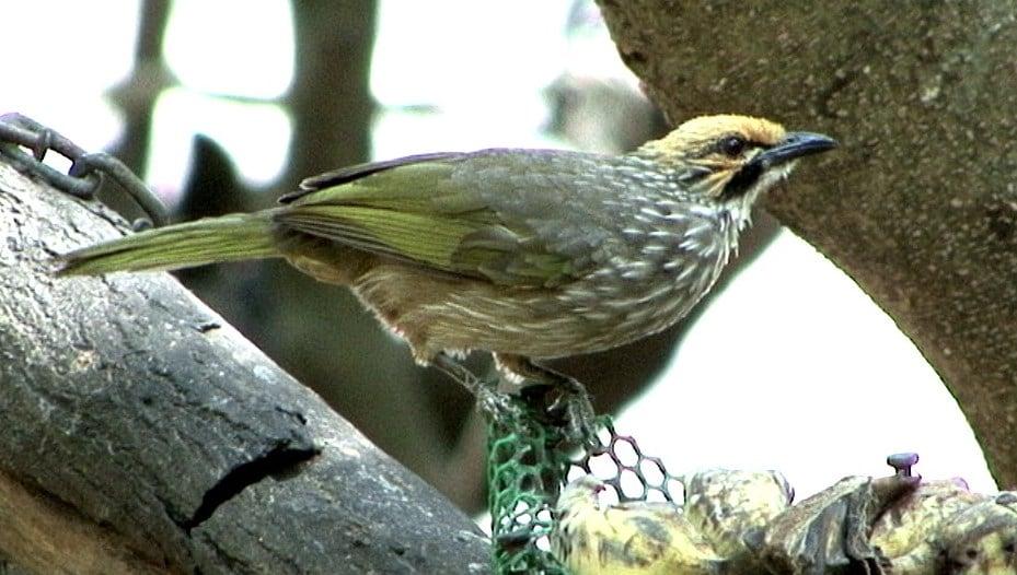 Menyelamatkan Populasi Burung Kicauan Cucak Rowo Sembari Menyalurkan Hobi 1