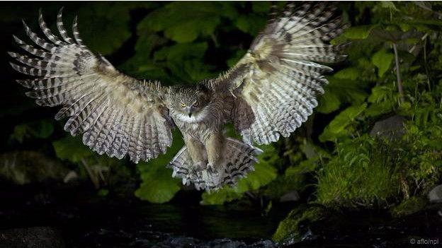 Burung Hantu Ikan Blakston