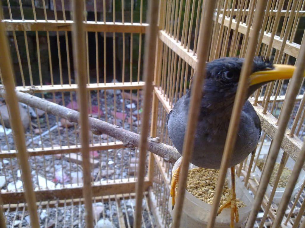 Cara Membedakan Kelamin Dan Merawat Burung Jalak Kebo 1