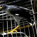 Cara Terbaik Untuk Merawat dan Melatih Burung Jalak Hitam