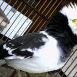 Cara Merawat Burung Jalak Hongkong Agar Semakin Gacor