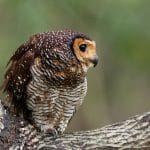 Tips Sederhana Memelihara Burung Hantu