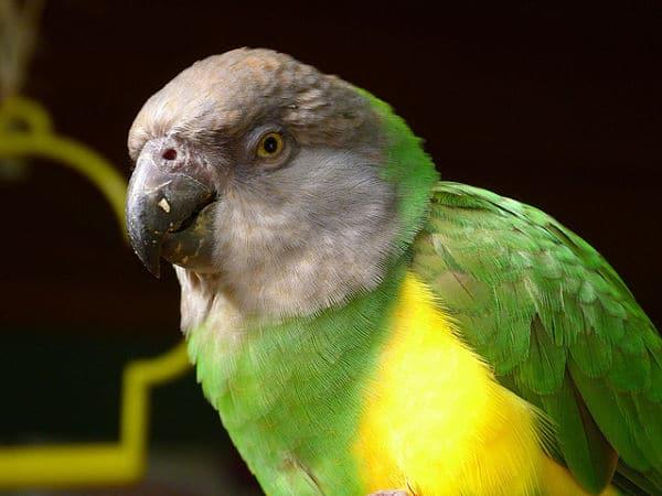 Burung Senegal Parrot