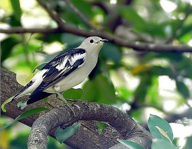 Burung Jalak Sutra