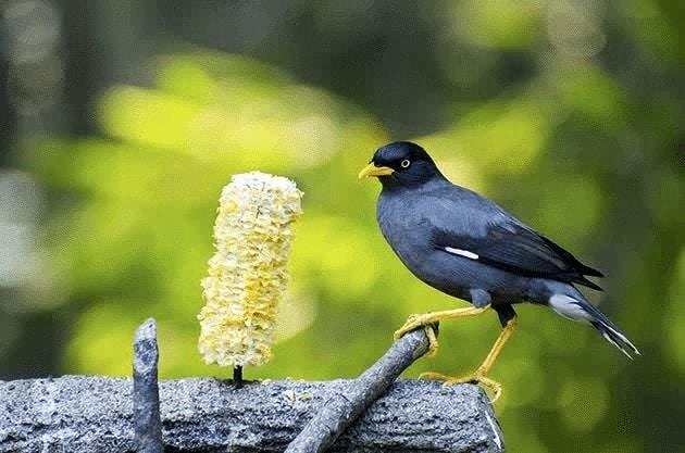 Burung Jalak Kebo