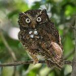 Lima Burung Hantu Asal Nusantara