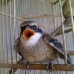Dampak Buruk Pemberian Jangkrik Berlebih pada Burung Cendet