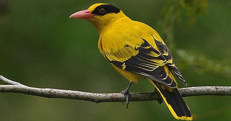 Burung Podang