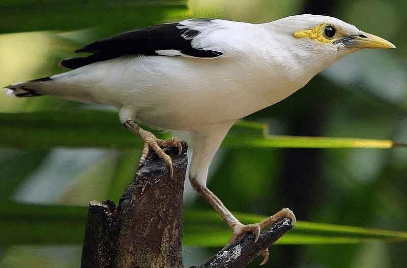 Burung Jalak Putih Jawa