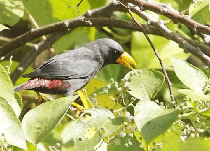 Burung Jalak Rio Rio