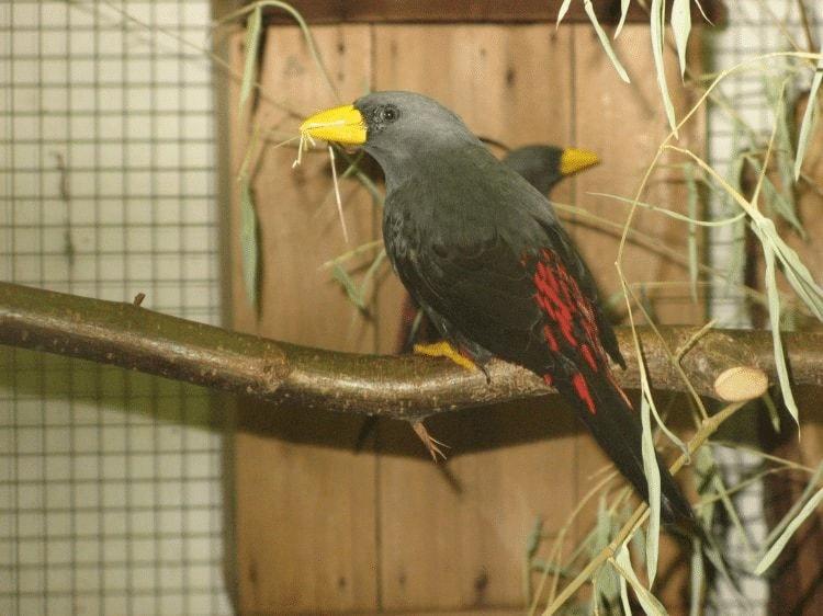 Burung Jalak Rio Jantan