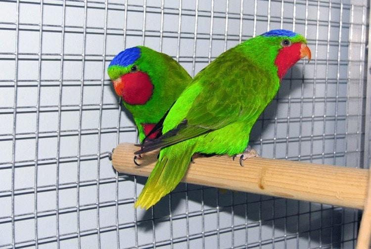 Burung Srindit