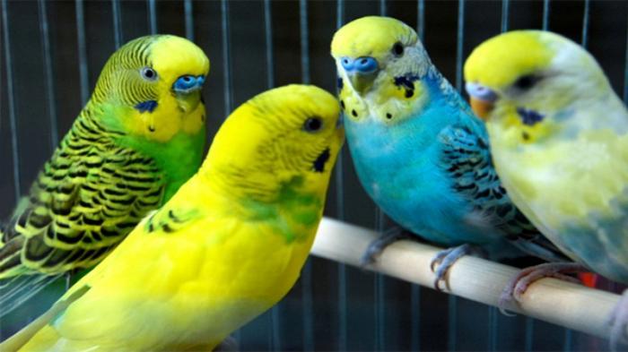 Memilih Burung Parkit yang Tepat