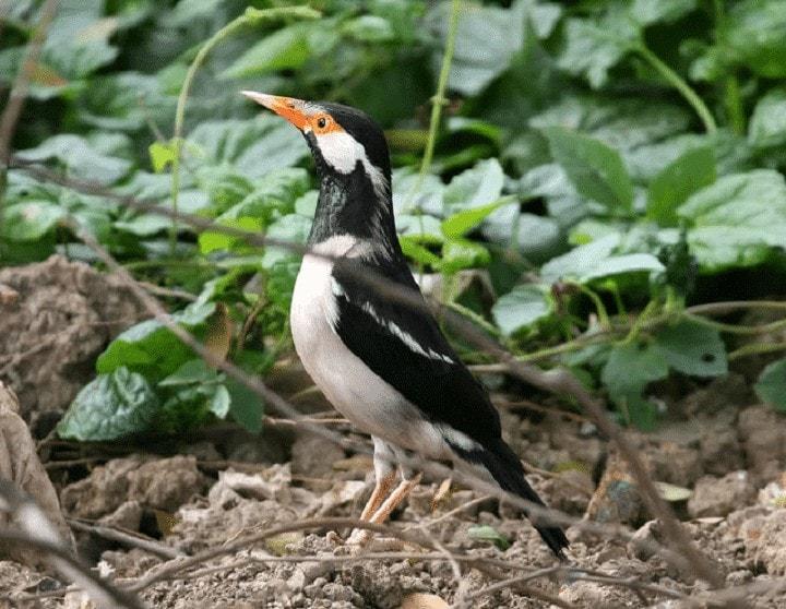 Burung Jalak Suren Sumatera