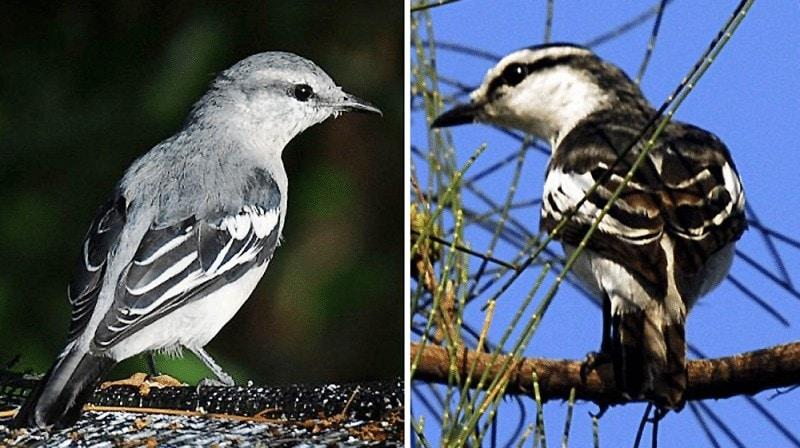 Burung Jalak Kapas Jantan Dan Betina