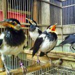 Tips Memilih Burung Jalak Ocehan dan Jalak Bakalan
