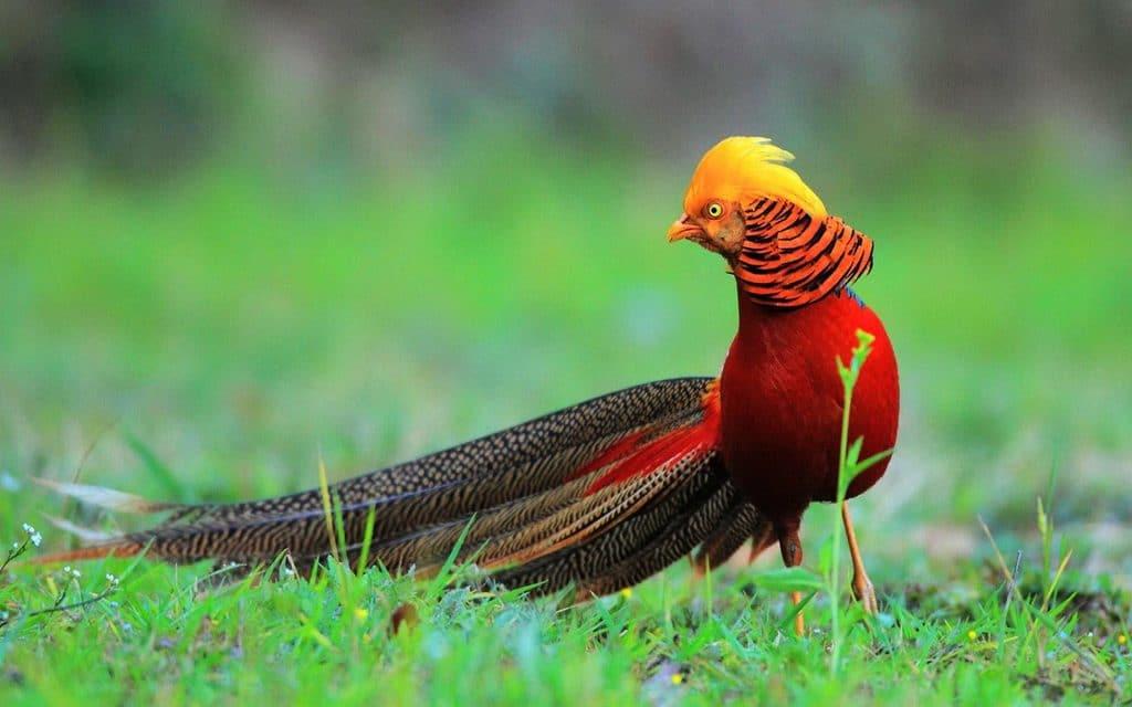 Jambul Golden Pheasent